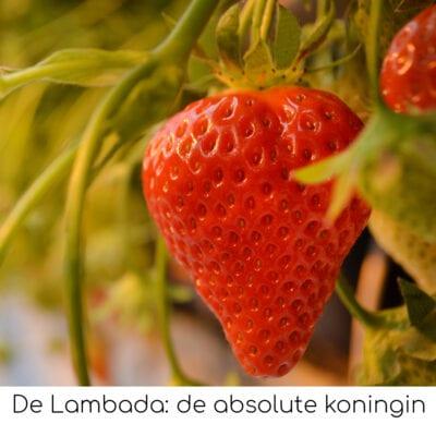 De Lambada de absolute koningin onder de aardbeien