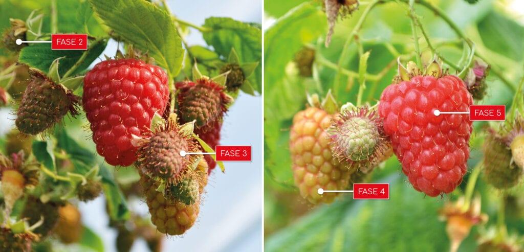 Beekers Berries - Groeirpoces frambozen