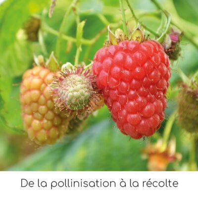De la pollinisation à la récolte